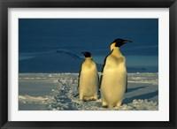 Framed Emperor Penguins, Mt. Melbourne, Antarctica
