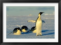 Framed Emperor Penguins, Antarctica, Atka Bay, Weddell Sea
