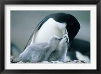 Framed Chinstrap Penguins, Deception Island, Antarctica