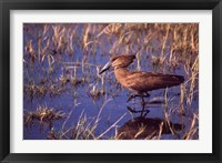 Framed Hamerkop, Okavango Delta, Botswana
