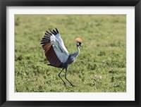 Framed Africa, Tanzania, Ngorongoro Crater. Grey Crowned Crane dancing.