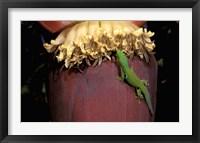 Framed Day Gecko, Ranamofana, Madagascar