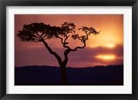 Framed Acacia Tree as Storm Clears, Masai Mara Game Reserve, Kenya