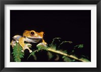 Framed Frog in the Analamazaotra National Park, Madagascar