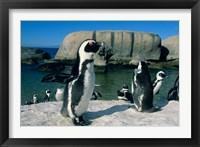 Framed African Penguins, South Africa