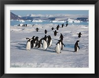 Framed Adelie Penguins, Devil Island, Antartica