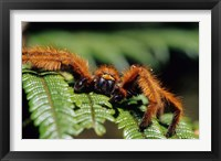 Framed Close-up of Tarantula on Fern, Madagascar