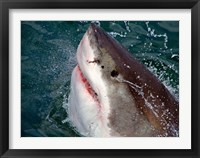 Framed Great White Shark breaks the surface of the water in Capetown, False Bay, South Africa