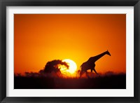 Framed Giraffe Walks Past Setting Sun, Chobe River, Chobe National Park, Botswana