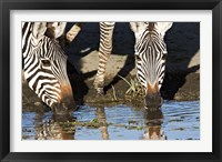 Framed Burchell's Zebras Drinking, Tanzania