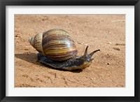 Framed Giant African Land Snail, Tanzania
