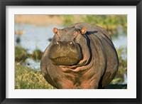 Framed Hippopotamus, Tanzania