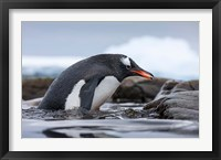 Framed Antarctica, Cuverville Island, Gentoo Penguin climbing from water.
