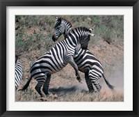Framed Fighting Burchell's Zebra, Serengeti, Tanzania