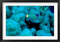 Framed Arabian Picasso Triggerfish, Panorama Reef, Red Sea, Egypt