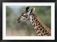 Framed Close-up of Masai Giraffe, Tanzania