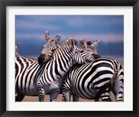 Framed Group of Zebras, Masai Mara, Kenya