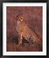 Framed Cheetah sitting, Masai Mara, Kenya