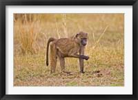 Framed Baboons near the bush in the Maasai Mara, Kenya