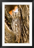 Framed African Scops Owl in Tree, Namibia