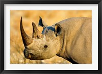 Framed Black Rhinoceros at Halali Resort, Namibia