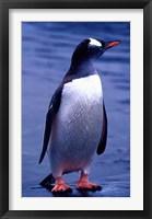 Framed Gentoo Penguin, Antarctica