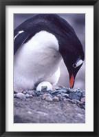 Framed Gentoo Penguin on Nest, Antarctica