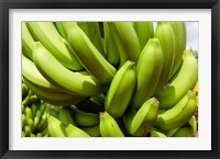 Framed Africa, Cameroon, Tiko. Bunches of bananas at banana plantation.