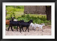 Framed Africa, Mozambique, Ibo Island, Quirimbas NP. Goats running down path.