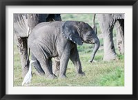 Framed African bush elephant calf in Amboseli National Park, Kenya