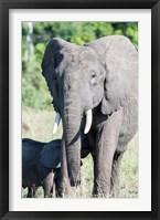 Framed African bush elephant, Maasai Mara, Kenya