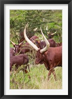 Framed Close Up of Ankole-Watusi cattle, Mbarara, Ankole, Uganda