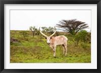 Framed White Ankole-Watusi cattle. Mbarara, Ankole, Uganda.