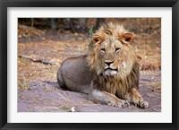 Framed Botswana, Savute, Chobe National Park, Lion