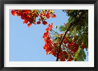 Framed Close-up of African flame tree, Stone Town, Zanzibar, Tanzania
