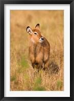 Framed Defassa Waterbuck wildlife, Uganda