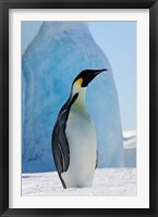 Framed Emperor Penguin on ice, Snow Hill Island, Antarctica
