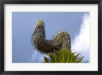 Framed Giant Lobelia flora of the Rwenzoris, Uganda