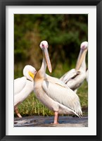 Framed Great White Pelican, Lake Chamo, Nechisar National Park, Arba Minch, Ethiopia