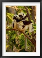Framed Coquerel's sifakas, primate, deciduous forest MADAGASCAR