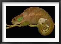 Framed Hilleniusi chameleon lizard, MADAGASCAR