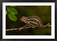 Framed Campan's chameleon lizard, Madagascar