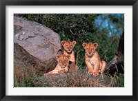 Framed Den of Lion Cubs, Serengeti, Tanzania