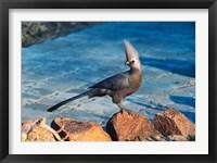 Framed Grey Go-Away Bird, Namibia