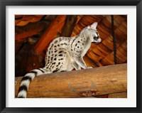 Framed Common Genet in the Ndutu Lodge, Tanzania