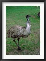 Framed Emu Portrait, Australia