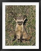 Framed Bat-Eared Fox, Tanzania