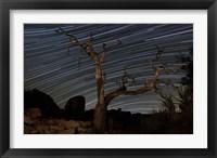Framed dead Pinyon pine tree and star trails, Joshua Tree National Park, California