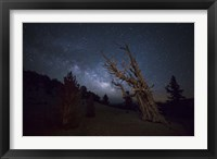 Framed large bristlecone pine in the Patriarch Grove bears witness to the rising Milky Way