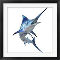 Framed Blue Marlin